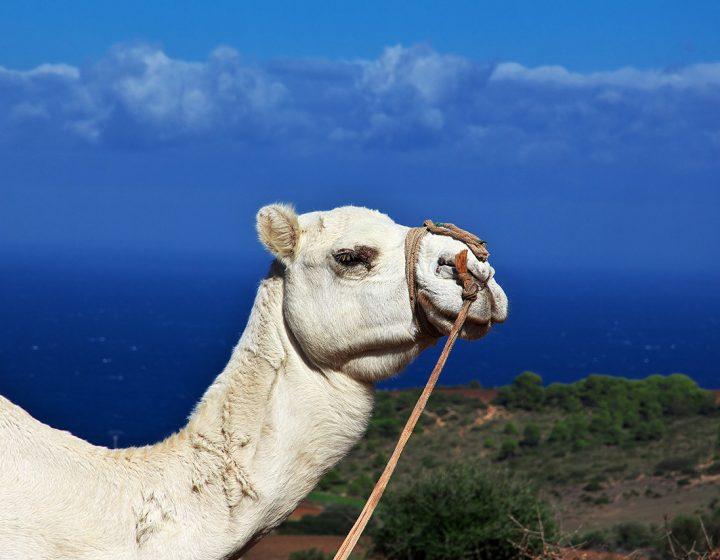 camel-palmerie
